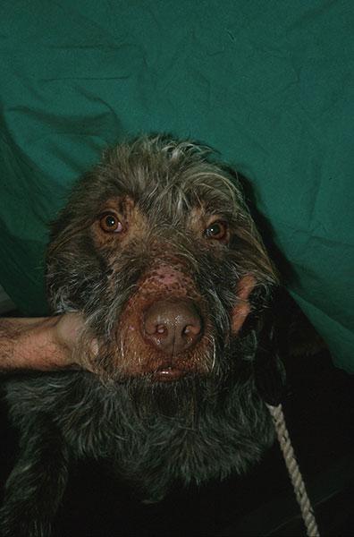 La truffe décolorée chez le chien